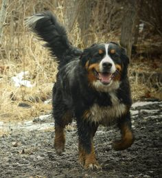 Bernese Mountain, Mountain Dogs, Bernese Dog, Creatures, Bright, Explore, Cute, Animals, Beautiful