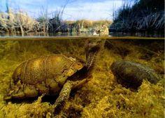 tortuga nadando en el rio