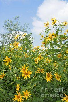 Woodland Sunflowers.  A view of native woodland sunflowers thriving in the New Jersey Meadowlands. #sunflowers #nativeflowersnj, #njmeadowlandsflowers #sunflowerart #artinyellow #sunflowersandsky