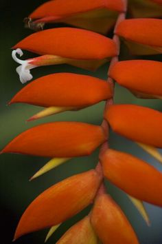 This is a heliconia flower from Hawaii. This was a study of color, line and form. White Flower Artist:Karen Ulvestad