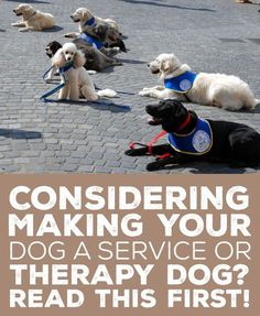 Making Your Dog a Service or Therapy Dog? Read This First! Considering making your dog a service or therapy dog? Read this first!Considering making your dog a service or therapy dog? Read this first! Therapy Dog Training, Service Dog Training, Therapy Dogs, Service Dogs, Dog Training Tips, Training Classes, Agility Training, Training Videos, Training Equipment
