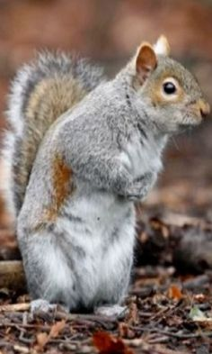 Scientists Think Grey Squirrels Could Outnumber Red Squirrels Because They're Smarter #squirrels #wild #animals