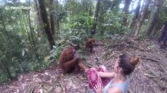A cute video has emerged of a female orangutan taking a tourist's hand and holding her 'hostage' for five minutes.   The footage, shot on May 17 in Bukit Lawang jungle in Indonesia, shows the the wo