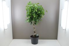 Large Spiral Stem Ficus