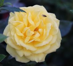 Rosa 'Golden Wishes' (Patio Rose)