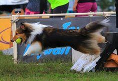 #フライボール#fryball#シェルティ#シェルティー#犬#dog#agility#dogs#sheltie#犬#愛犬#canon#7dmark2#dogstagram#いぬ#insta_dog#shetlandsheepdog