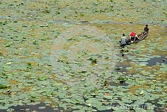 Three fishermen on a boat on Dal Lake covered with lotuses, Srinagar, Jammu and Kashmir , India