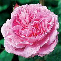 cream ivory garden rose mythos flowers pinterest. Black Bedroom Furniture Sets. Home Design Ideas