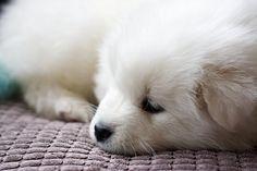 Samoyed Puppy by Altrezia