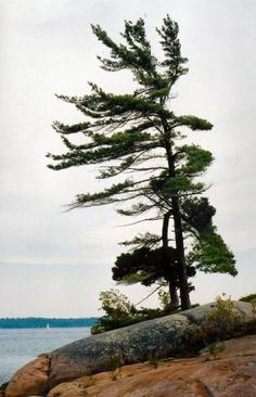 Lonely White Pine on the Rocks ONTARIO