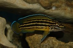 "Julidochromis regani yellow ""Sambia"""