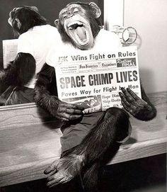 O chimpanzé posando para a câmera depois de uma missão bem sucedida no espaço, 1961.