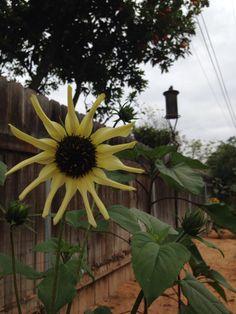 Sunflower in San Diego