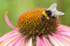 Home - Caroline Piek Photography Insects, Bee, Garden, Flowers, Photography, Animals, Animais, Garten, Fotografie