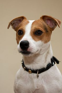 Jack Russel Terrier is another grest dog!