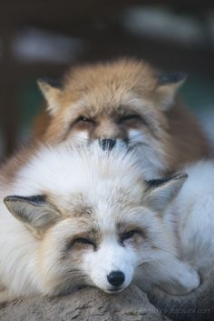 snuggled red foxes | animal + wildlife photography
