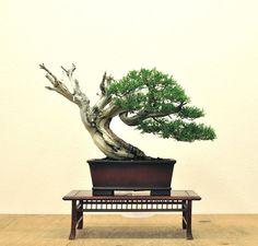 bonsai mirai - Google Search
