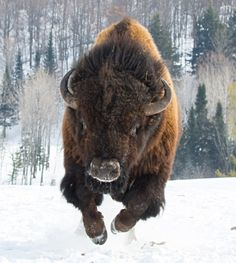 The American Bison is (Finally) Our New National Mammal Photos) - Suburban Men - May 2016 Majestic Animals, Rare Animals, Animals And Pets, Strange Animals, Beautiful Creatures, Animals Beautiful, Buffalo Animal, Native American Artwork, American Bison