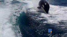Cette rencontre avec les orques a dû être inoubliable pour ces touristes ...   http://www.noemiconcept.com/index.php/fr/departement-informatique/webbuzz-tech-info/item/205775-quand-les-orques-samusent-dans-le-sillage-dun-bateau-when-killer-whales-have-fun-in-the-wake-of-a-boat.html#video