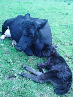 Heifer new calf