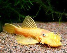 Do you see what I see??? The Lorax of the sea!! -Albino Bushy/Bristle Nose Pleco