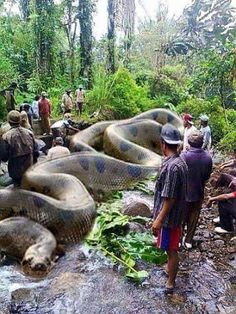 World's biggest snake Anaconda found in South America. It has killed 257 human beings and 2325 animals. It is 134 feet long and 2067 kgs. Africa's Royal British commandos took 37 days to get it killed.World's biggest snake Anaconda Sure. And the fact Giant Anaconda, Anaconda Snake, Anaconda Attack, Green Anaconda, Big Animals, Animals And Pets, Funny Animals, Scary Animals, World Biggest Snake