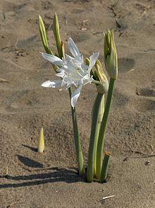 Pancratium maritimum ..sea daffodil