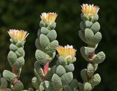 Corpuscularia lehmannii - syn.: Delosperma lehmannii