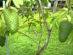 There's a New Super Fruit in Town – The Health Benefits of Guanábana Cancer Fighting Fruits, Tropical Fruits, Fruits And Vegetables, Cactus Plants, Health Benefits, Aloe, Health And Beauty, Health Fitness, World
