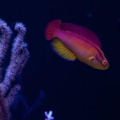 Flame Wrasse showing off. #wrasse #corals #coral #reeftank #reefaquarium #eatsleepreef  #coralreef #reef #allmymoneygoestocoral #reefporn #saltwatertank #saltwater #reeflife  #ilovemyreeftank  #reefpack #reef2reef #KeepitSalty #reefing