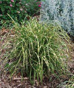 zebra grass