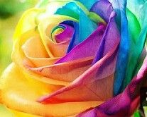 150 pcs Seeds Rare Holland Rainbow Rose Flower Home Garden Rare Flower Seeds Colorful Rose Seeds Rare Roses, Rare Flowers, Exotic Flowers, Pretty Flowers, Photos Of Flowers, Flower Pictures, Orchid Flowers, Fuchsia Flower, Beautiful Flowers Pictures