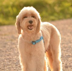 What Is The Best Dog Food For A Goldendoodle Dog Food