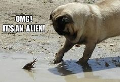 Put Your Paws Up - Pug Meme, funny cute pugs