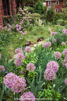 Stepping stone path in meadow garden with Allium 'Globemaster' (ornamental onion) in front yard lawn substitute, St Louis Missouri; Matt Moynihan design