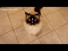 Ragdoll Cats Charlie and Trigg Patiently Wait for Greenies - ねこ - ラグドール - Floppycatshttp://youtu.be/owAGWWvN-q0
