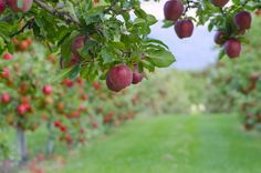 Learn the factors that go into selecting varieties of apple trees to grow. Consider dwarfs vs standards, climate, taste, and disease resistance. Apple Fruit, Red Apple, Apple Tree Care, Tree Pruning, Best Fruits, Farm Gardens, Fruit Trees, Permaculture, Wild Flowers