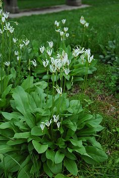 White Shooting Star (Dodecatheon meadia 'Alba') at Chalet Nursery