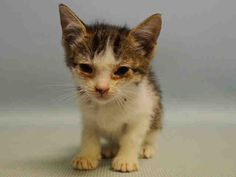 """LILLIE ANN - A1079935 - - Manhattan Please Share: ***TO BE DESTROYED 07/09/16*** SWEET BABY KITTEN LOST HER WAY AND NEEDS HELP TONIGHT! LILLIE ANN is the cutest little girl! This tabby baby is just 4 weeks old, and has serious potential to grow into a real stunner! She was found outside in the rain in someone's yard. Her """"finder"""" most likely thought they were doing her a favor by dropping her off at the ACC. They probably thought they would fix her up a"""
