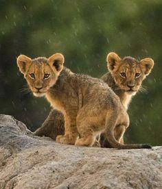 Nala and Simba as cubs