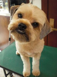 Brussels Griffon - freshly groomed  I have one of these guys...wonder if he could look like this!
