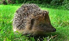 A hedgehog: as British as they come?