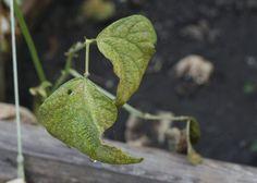 Spider-Mite-Plant-Damage