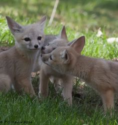 San Joaquin Fox Cubs by Pete Pieslor Fantastic Fox, Fabulous Fox, Animals Beautiful, Cute Animals, Play Fighting, Human Behavior, Animal Kingdom, Kangaroo, Little Ones