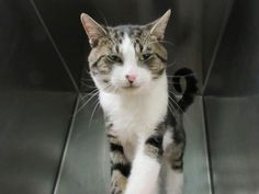 RIKI - A1091259 - - Brooklyn  ***TO BE DESTROYED 10/06/16***CUDDLY RIKI is hoping for some love!! This GORGEOUS gray and white stripey tabby guy will charm your socks off!! He is one year old and was brought in as a stray, but he LOVES PEOPLE!! This cutie is laying quietly on a blanket until someone comes to visit. Then he comes over and gives the visitor's hand a sniff, decides he passes the test, and rubs up against the visitor! He meows softly to say hi and appreciates