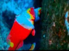 Striped Mulled - Papağan Balığı