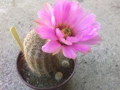 Echinocereus reichenbachii v. fitchii