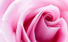 Imagine the fragrance!  LOVE pink roses!