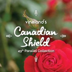 Blooms Flower of the Year 2017: Canadian Shield Rose | Canada Blooms