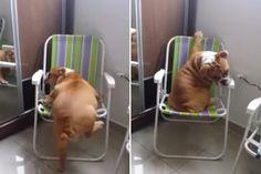 Bulldog Puppy Struggles to Climb Folding Chair: Watch the Cute Video British Bulldog, English Bulldogs, Bulldog Puppies, Cute Gif, Folding Chair, Animal Memes, Climbing, Bullies, Watch